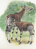 Close-Up of Okapi (Okapia Johnstoni)
