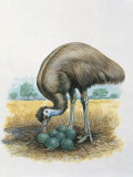 Close-Up of a Male Emu Standing Near Eggs