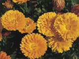High Angle View of Pot Marigold Flowers (Calendula Officinalis)
