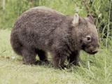 Close-Up of a Common Wombat (Vombatus Ursinus)