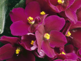 Close-Up of an African Violet Flower (Saintpaulia Ionantha)