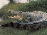 Close-Up of an Australian Saltwater Crocodile, Kakadu National Park, Australia (Crocodylus Porous) Papier Photo