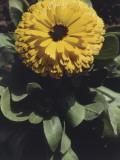 Close-Up of a Pot Marigold Flower (Calendula Officinalis)
