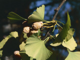 Close-Up of Leaves and Fruits of a Maidenhair Tree (Ginkgo Biloba)