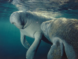 Female manatee and calf swim underwater, Crystal River, Florida Papier Photo par Jeff Foott