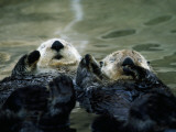Sea Otters Lay on Back in Water