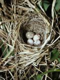Brown-Headed Cowbird Egg in Nest of Macgillivaray's Warbler