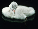 Close Up of Trumpeter Swan (Olor Buccinator) Cygnet Cleaning Feathers
