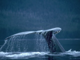 Tail and fluke of humpback whale diving  Southeast Alaska