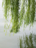 China  Zhejiang Province  Hangzhou  Willow Tree Branches with Reflection in the West Lake