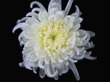 China  White Chrysanthemum