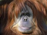 Orangutan Head