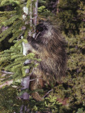 Porcupine in Pine Tree