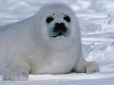 Harp Seal Pup Lays in Snow Papier Photo par Jeff Foott