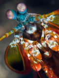 Peacock Mantis Shrimp Papier Photo