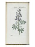 Almanach de Flore : Sapin à fleurs bleues