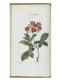 Almanach de Flore : Iatrophia