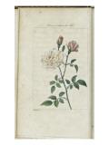 Almanach de Flore : Rose à odeur de Thé
