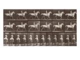 """Album sur la décompostion du mouvement : """"Animal locomotion  :Saut d'obstacle  cheval blanc"""