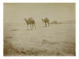 Voyage en Algérie : chameaux près de Biskra