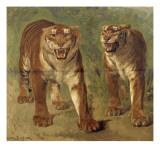 Tigre royal furieux