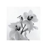 Orchid Spray II