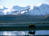 A Lone Grizzly Bear in Katmai National Park