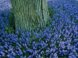 Lavender Muscari in the Keukenhof Flower Park