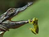 A Year-Old Nile Crocodile Snaps at a Frog  a Favorite Meal