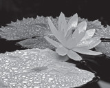 Droplets on Water Lilly