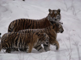 A Captive Siberian Tiger and Her Cubs in the Snow