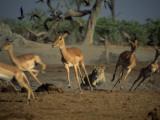A Lioness  Panthera Leo  Chasing a Group of Gazelle