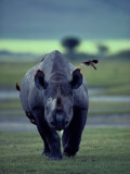 Red-Billed Oxpeckers Cling to a Black Rhinoceros Eating Parasites