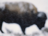 An American Bison Braves a Blizzard in Yellowstone Park