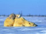 A Polar Bear  Ursus Maritimus  with Her Cub