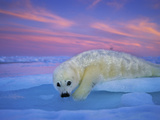 A Whitecoat Harp Seal Rests on Ice under a Colorful Twilight Sky