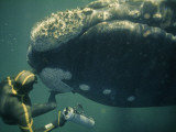 A Movie Photographer Keeps His Camera Out of the Way of a Right Whale