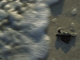 A Newly Hatched Green Turtle Marches to the Sea