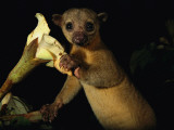 Kinkajou Holds a Blossom  Ready for its Head Diving Eating Technique