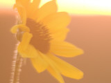Close Up of Plains Sunflower Shot in Late Afternoon in the Grasslands