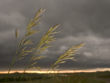 Prairie Wedge Grass Stands Out Against Thunderclouds in Grasslands