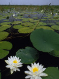 Water Lilies Bloom on Tiger Cove in Lake Kissimmee State Park in Central Florida