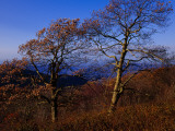 Oak Trees in Autumn Colors in a Mountain Scenic