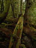An Old Haida Cedar Canoe Found in the Forest