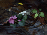 Catawba Rhododendron Blossom in a Mountain Stream in Hanging Rock State Park  North Carolina