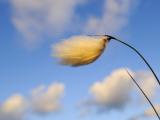 Common Cotton Grass on North Uist