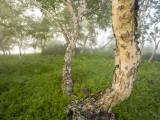 A Green Grove in Kronotsky Nature Reserve's Uzon Caldera