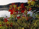 Scarlet Sumac Branches Along the Shores of Hematite Lake