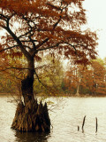 Autumn View of a Bald Cypress Tree Growing in Water