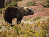 A Brown Bear in the Tundra of Kronotsky Nature Reserve
